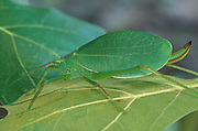 Common True Katydid; Pterophylla camellifolia; on leaf; NJ; Pine Barrens