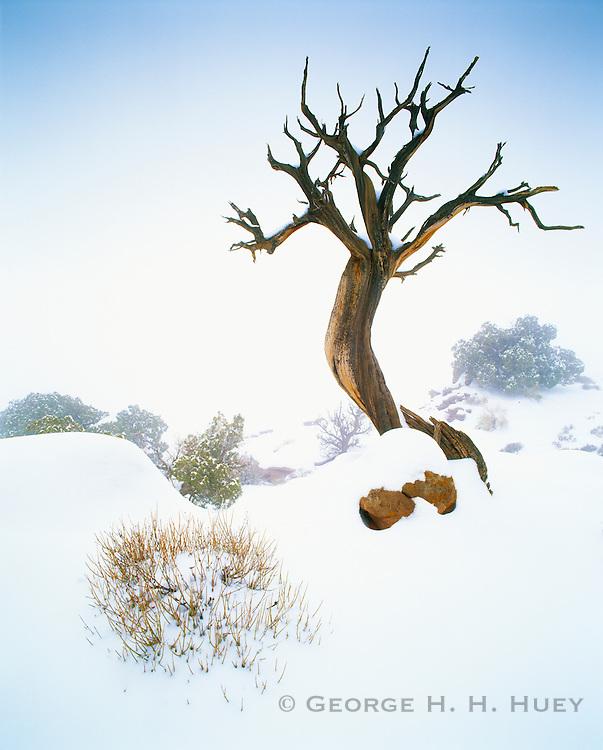0303-1092 ~ Copyright: George H.H. Huey ~ Utah juniper tree in snowstorm, Island in The Sky, Canyonlands National Park, Utah.