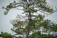 An eagle flies to Moon Island on Squam Lake.  Karen Bobotas for the Laconia Daily Sun