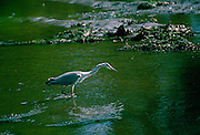 A heron fishing in the Helford Estuary in Cornwall, England, United Kingdom