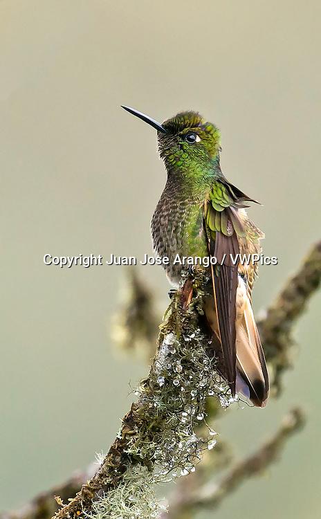 Buff-tailed Coronet (Boissonneaua flavescens), Jardin, Antioquia