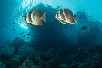 Long fin Spadefishes in the current <br /> <br /> Shot in Indonesia