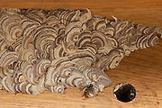 Wasps making a wood pulp nest on oak beams, United Kingdom