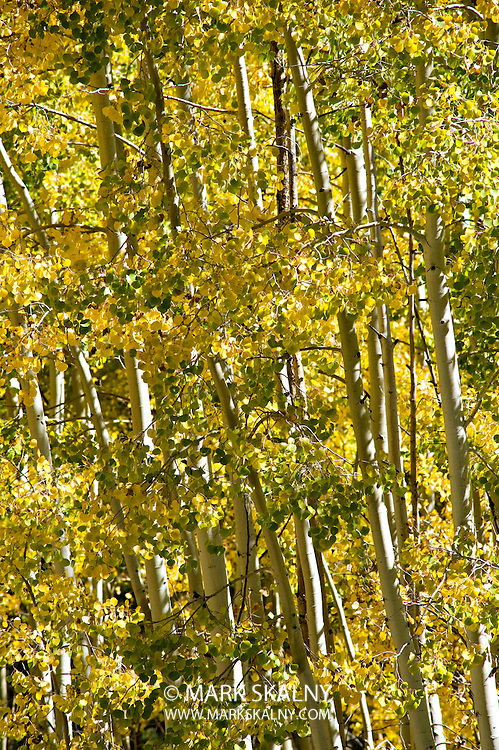 Fall Aspens at Lockette Meadow north of Flagstaff, Arizona. Photographed by Mark Skalny 1-888-658-3686