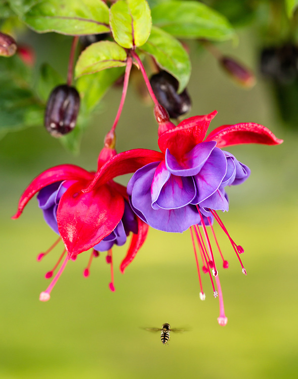 Closeup of Fuchsia and insect in garden in Eagle River in Southcentral Alaska. Summer. Evening.