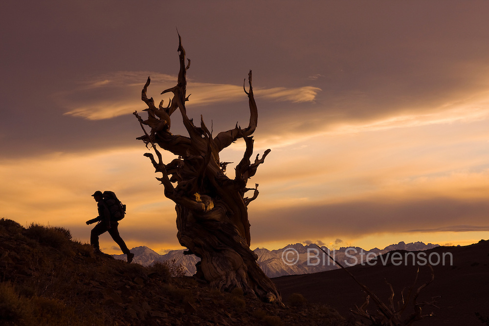 A photo of a silhouette of a hiker by a Bristlecone Pine tree at sunset near Bishop in California