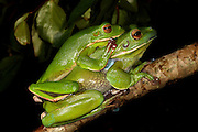 white lipped treefrogs (litoria infrafrenata), mating, cairns, queensland