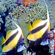 Red Sea Bannerfish inhabit reefs. Picture taken Red Sea..