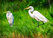 "Seabirds of Long Island Sound. Egrets. Size suitable for framing or canvas prints up to 13 x 16"" or any website."