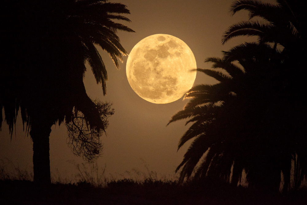 Full moon rising through Palm trees, Playa Del Rey, CA May 5, 2012