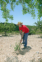 Farmer hoes stony ground in olive grove Murcia