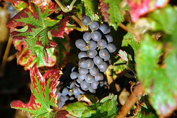 Frankrijk, Beaunne, 20-9-2008Druiventros hangt te rijpen in de zon. De Bourgogne is een belangrijk wijngebied.Bunch of grapes hanging to ripen in the sun. Burgundy is an important wine region.Foto: Flip Franssen/Hollandse Hoogte