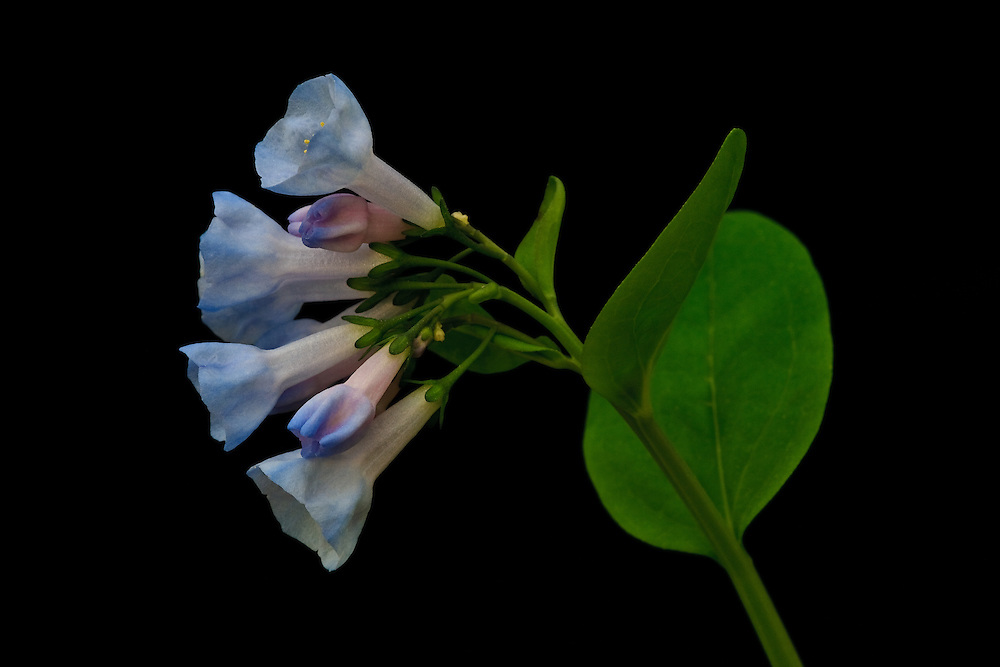 Close-up of a Virginia bluebell(Mertensia virginica) growing in floodplain forest along the banks of the Potomac River, Turkey Run Park, George Washington Memorial Parkway, Virginia.