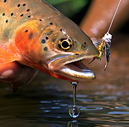 Rio Grande Cutthroat Trout<br />