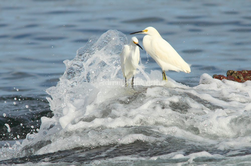 Snowy Egrets (Egretta thula). Conchal Beach, Guanacaste, Costa Rica.  <br />