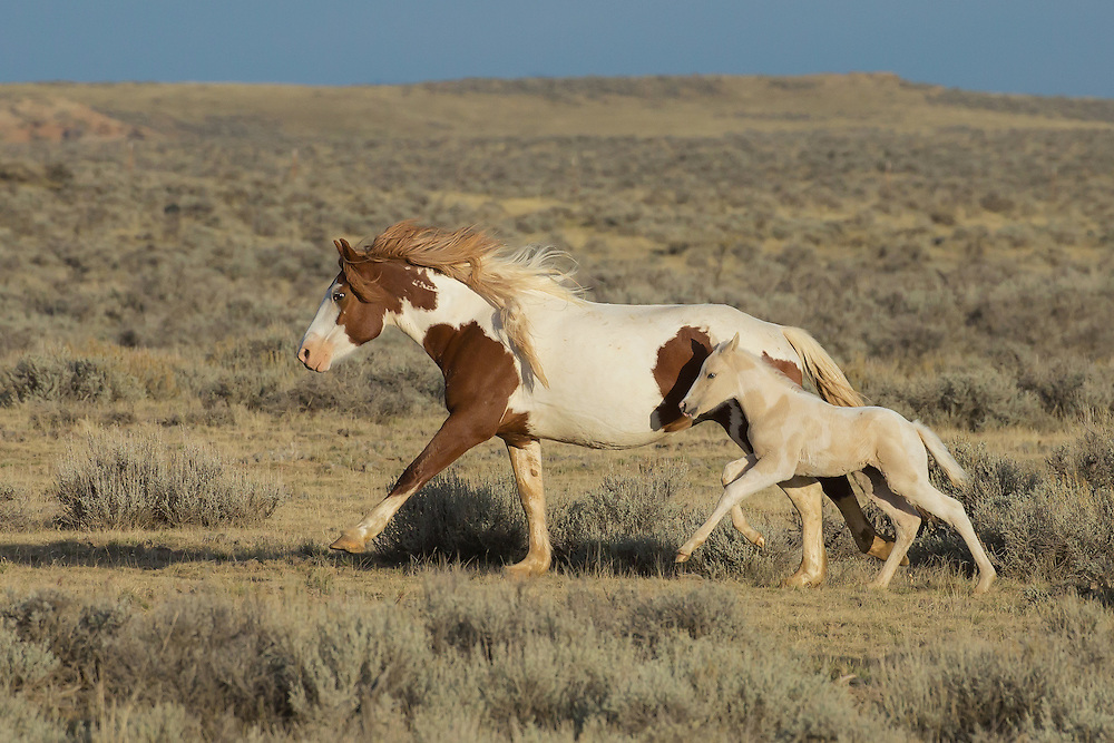 Almost two weeks old, Tuff's little filly is able to keep pace with her mother as the pair gallops across the range.