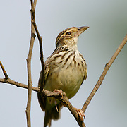 A Pipit at Khao Khiew Dam, Chonburi.