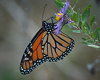 Monarch Butterfly Feeding on a Purple Wildflower. Image taken with a Nikon D2xs camera and 80-400 mm telephoto zoom lens (ISO 400, 400 mm, f/5.6, 1/250 sec).