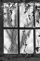 An old window covered with vines in Manteo North Carolina.