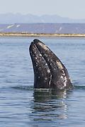 Gray Whale <br /> Eschrichtius robustus<br /> Spyhopping<br /> San Ignacio Lagoon, Baja California, Mexico