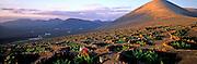 SPAIN, CANARY ISLANDS, LANZAROTE La Geria vineyard; vines dug in volcanic ash