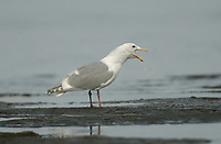 Glaucous-winged Gull (Larus glaucescens), Oyster Bay nr. Cambell River, Vancouver Island, Canada   Photo: Peter Llewellyn