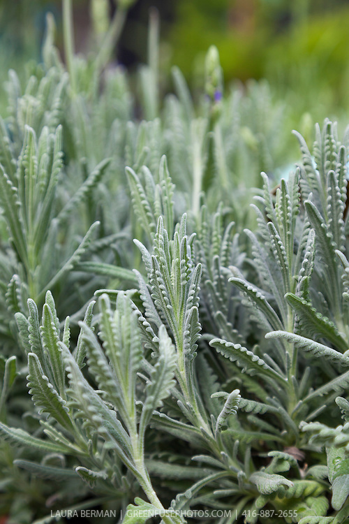 'Goodwin Creek Gray' Lavender (Lavandula x 'Goodwin Creek')
