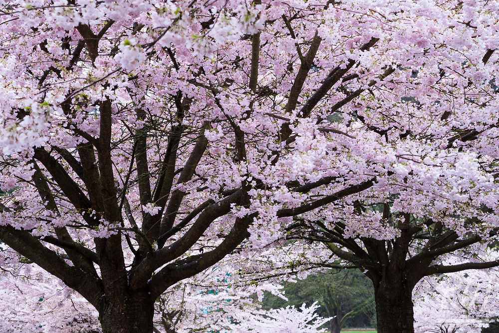 Cherry Blossoms at Stanley Park, Vancouver, B.C., Canada