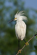Snowy Egret with Wet Plumes