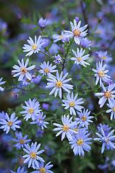 Aster 'Little Carlow' (cordifolius hybrid) AGM syn. Symphyotrichum 'Little Carlow' (cordifolium hybrid)