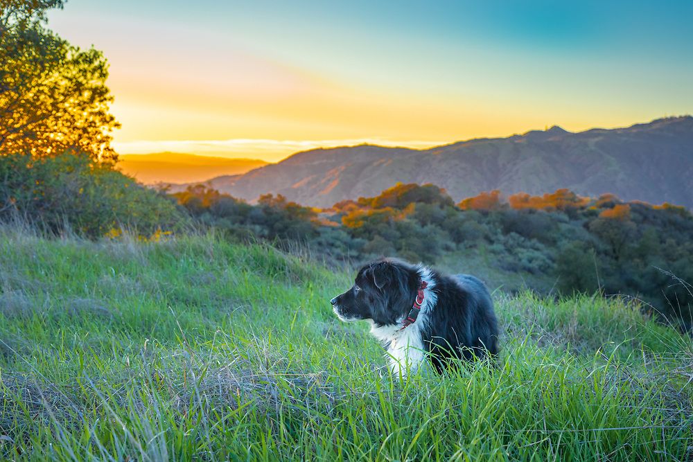 Black and white dog in a field of tall grass with mountains and sunset in the background.