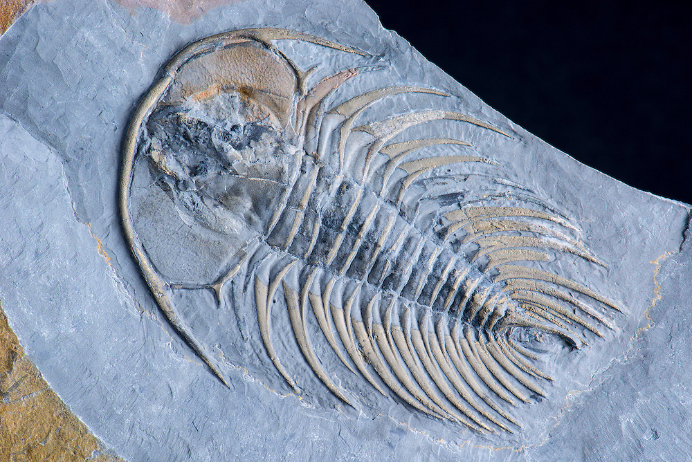 Gabriellus cf lanceatus (sagittal length: 82mm) is a rare olenellid trilobite from a new location in British Columbia where the Lower Cambrian Atan Group crops out in the Dease River. The exoskeleton is outlined with pyrite.