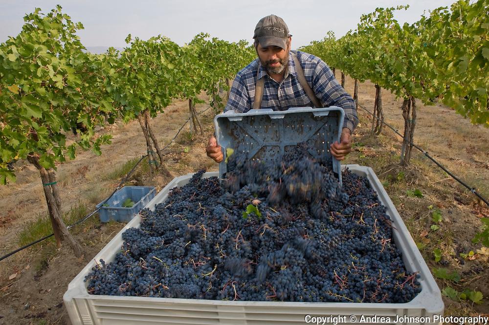Harvesting Cabernet Savignon grapes, Klipsun Vineyards, Red Mountain AVA, Yakima Valley wine region, Eastern Washington, USA
