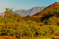 Vineyards, Babylonstoren, a Cape Dutch style hotel set in a 500 acre working farm, near Paarl, Cape Winelands, near Cape Town, South Africa.