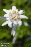 Edelweiss, Leontopodium alpinum, Stara Planina, Central Balkan National Park, Bulgarie
