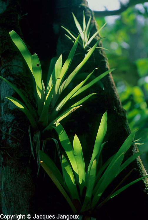 Epiphytic bromeliad on tree trunk in rainforest, Amazon region, Para, Brazil