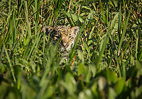 A jaguar, Panthera onca, peaking out from tall grass in the Pantanal region of Brazil.