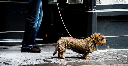 Nederland, Zutphen, 7 juli  2009..Regen. Man met harige teckel wacht in een portiek van de  binnenstad van Zutphen tot het weer wat droger is.......Foto (c) Michiel Wijnbergh