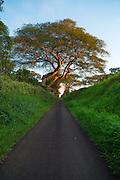 Albizzia tree, North Kohala, Island of Hawaii
