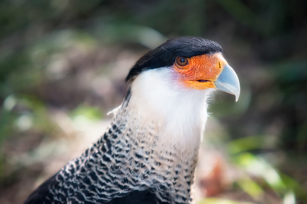 The crested caracara is member of the falcon family that is common throughout central and the northern part of South America. There is a moderate-sized population in central-south Florida, especially in Hendry County. I almost always see one every time I am on the highway south of LaBelle. These scavengers are most often soaring high above the arid countryside or competing with vulture for roadkill.