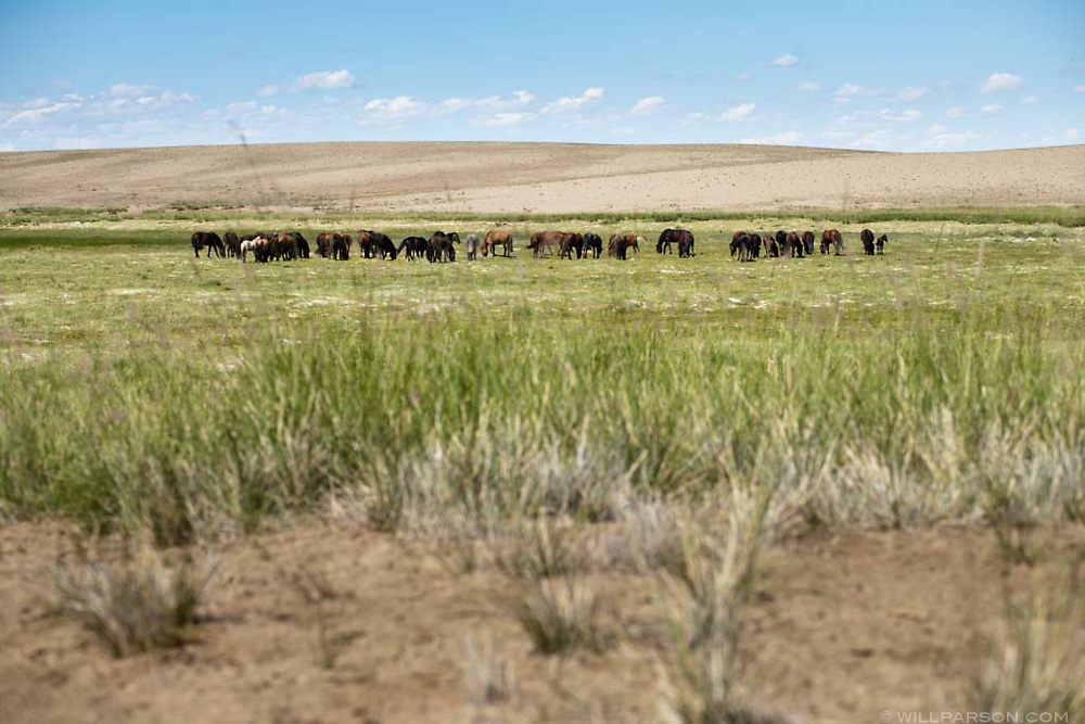 A herd of horses east of Darvi, roughly 1100km west of Ulaanbaatar.
