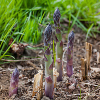 Purple tipped asparagus spears emerging from the ground and surrounded by grass