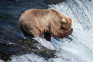 Missed - Brown Bear - Brooks Falls, Katmai National Park, AK