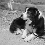 Waiting Border Collie - Avebury, UK - Black & White