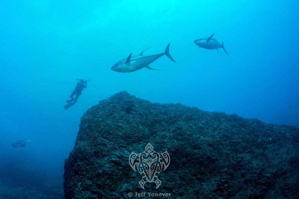 A diver photographs two large Yellowfin Tuna<br /> <br /> <br /> Shot at Cocos Island, Costa Rica