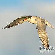 Forster's Tern in flight;  Minnesota.