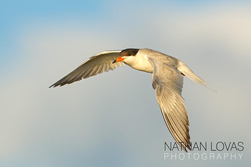 Forster's Tern in flight;  Minnesota.