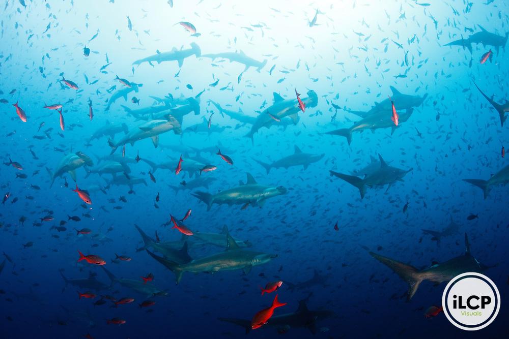 Scalloped hammerhead sharks (Sphyrna lewini), Pacific creolefish (Paranthias colonus)Galapagos Islands, Ecuador