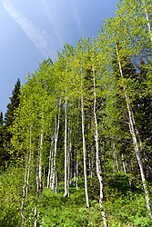 A grove of aspens prospers in the early summer on US 24, a section of Colorado's Top of the Rockies Scenic Byway.