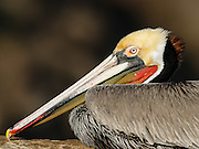 Brown Pelican in San Diego, California